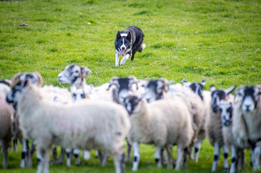 Focus On Background「Herding dog」:スマホ壁紙(1)