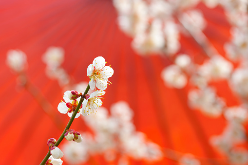 梅の花「Red umbrella and white plum blossoms」:スマホ壁紙(7)