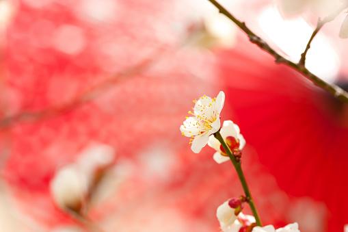 梅の花「Red umbrella and white plum blossoms」:スマホ壁紙(19)