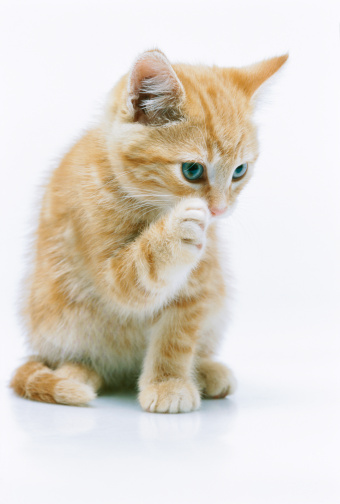 子猫「view of a kitten licking its paw」:スマホ壁紙(6)