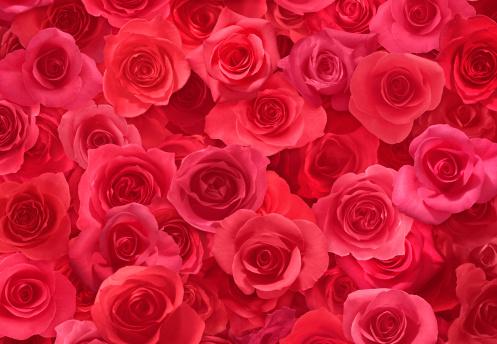 薔薇「Sheet of Red Roses」:スマホ壁紙(19)