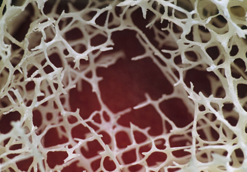 Porous「Spongy (Cancellous) bone, Site of red marrow, 3X at 35mm. The bony network is referred to as trabeculae. Red bone marrow (hemopoietic) tissue fills the spaces between the trabeculae.」:スマホ壁紙(19)