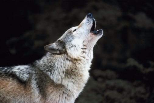 Wolf「Howling timber wolf」:スマホ壁紙(6)
