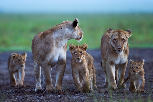 Walking「Lionesses and cubs gathered together」:スマホ壁紙(15)