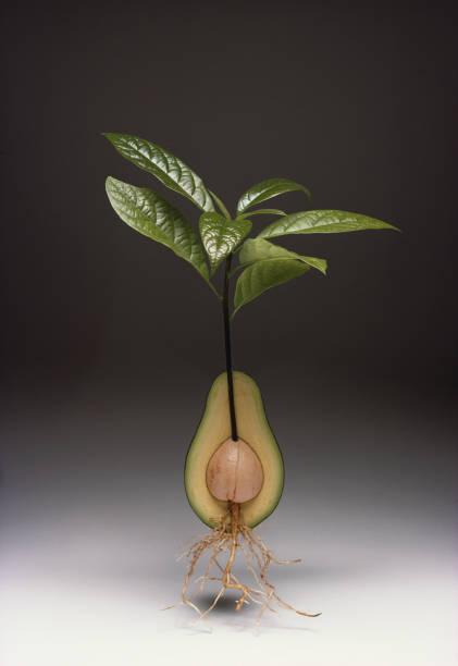 Avocado In Section:ニュース(壁紙.com)