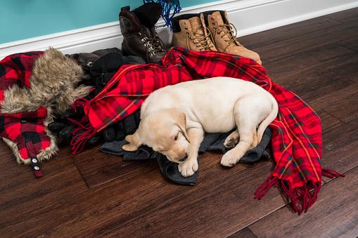 Tartan check「冬のコートやスカーフ ボウル - 5 週齢で寝ているかわいい黄色のラブラドール子犬」:スマホ壁紙(8)