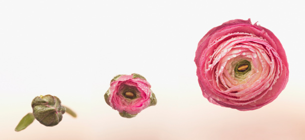 Part of a Series「Sequence of pink ranunculus blooming」:スマホ壁紙(7)