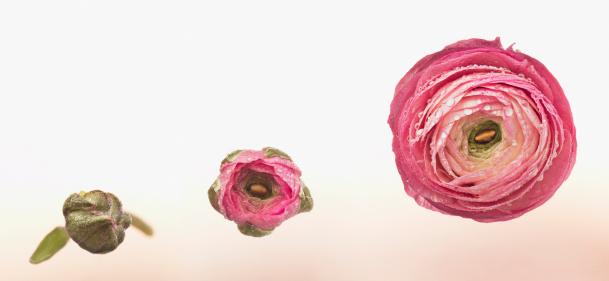 Multiple Image「Sequence of pink ranunculus blooming」:スマホ壁紙(18)
