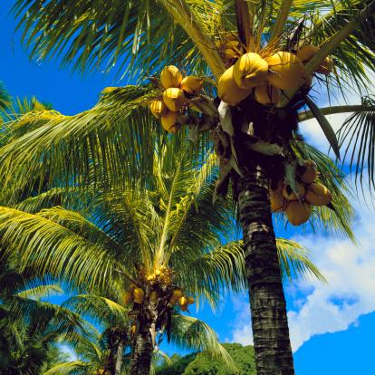 Frond「Coconut trees」:スマホ壁紙(2)
