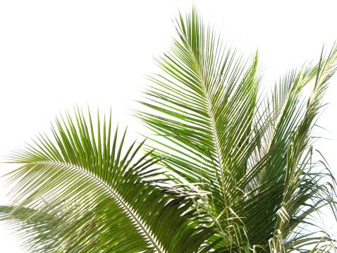 Branch - Plant Part「Coconut tree」:スマホ壁紙(13)