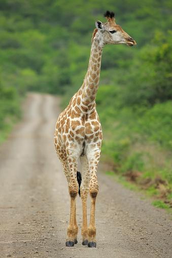 Giraffe「Juvenile female giraffe on dirt road, South Africa」:スマホ壁紙(14)