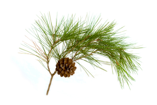 Pine Cone「A pine cone hanging on a branch with green thistles」:スマホ壁紙(10)
