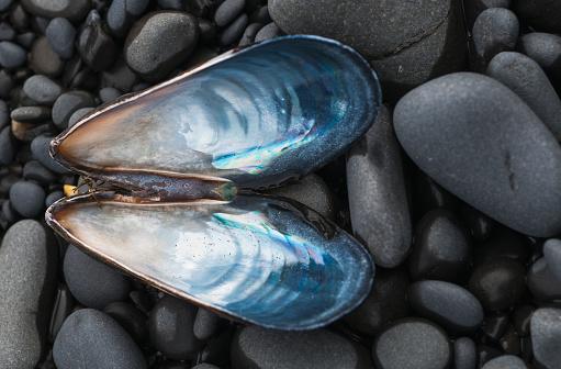 Cannon Beach「A Blue Mussel (Mytilus Edulis) Shell Rests On The Beach」:スマホ壁紙(18)