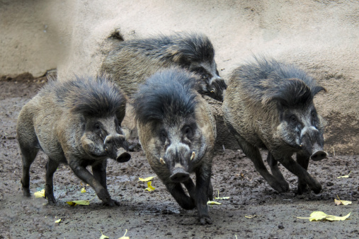 Horned「Visayan warty pig herd running」:スマホ壁紙(16)