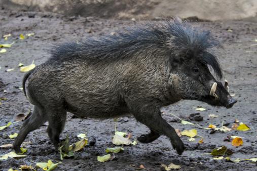 Horned「Visayan warty pig running」:スマホ壁紙(4)