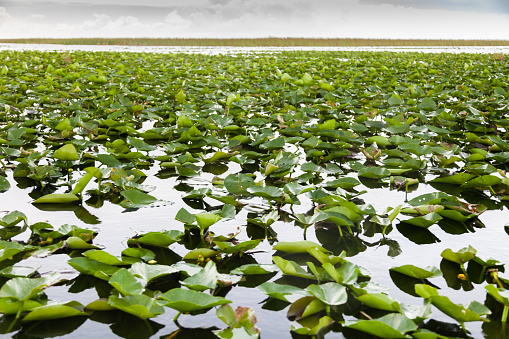 Water Lily「Lilly pads and sawgrass. Everglades Holiday Park」:スマホ壁紙(3)