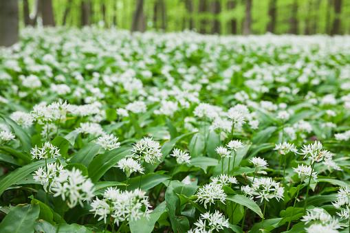 Uncultivated「Germany, North Rhine-Westaphalia, Eifel, wild garlic blossom in beech forest」:スマホ壁紙(13)