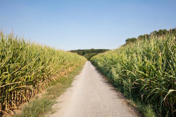 germany, North Rhine-Westphalia, maizefields, empty way:スマホ壁紙(壁紙.com)