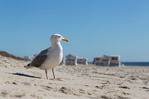 Herring Gull「Germany, North Frisia, Sylt, Seagull at the beach」:スマホ壁紙(10)
