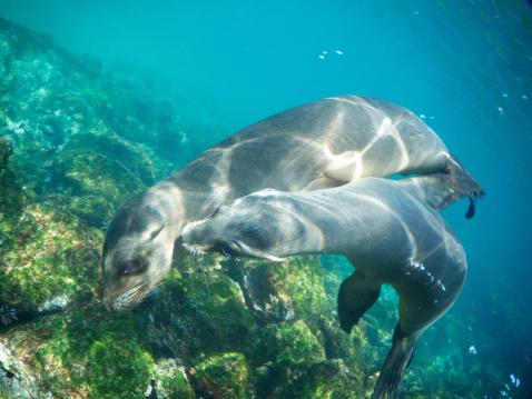 ガラパゴス諸島「2 つの遊び心のあるシーライオン Nuzzle 水中」:スマホ壁紙(2)
