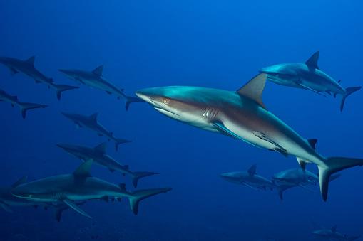 Okanogan National Forest「Sharks in French Polynesia.」:スマホ壁紙(9)