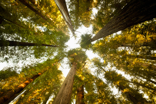 North America「Looking up at a dense Sequoia forest」:スマホ壁紙(10)