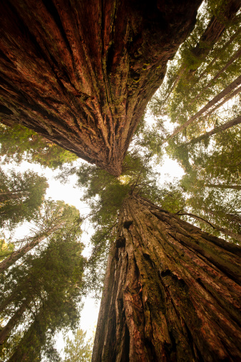 Boreal Forest「Looking up at a dense Sequoia forest」:スマホ壁紙(7)