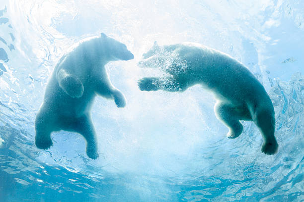 Looking Up at Two Polar Bear Cubs Playing In Water:スマホ壁紙(壁紙.com)