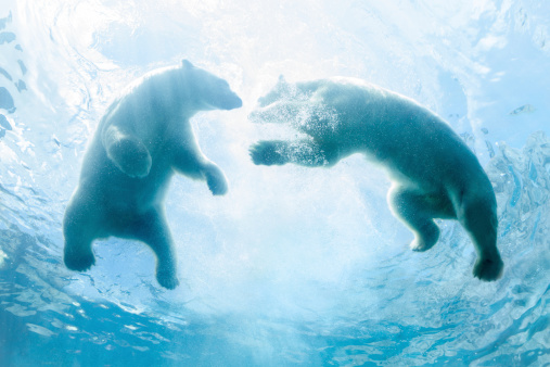 Polar Bear「Looking Up at Two Polar Bear Cubs Playing In Water」:スマホ壁紙(15)