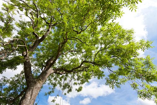 Ash Tree「Looking up into a mature ash tree」:スマホ壁紙(8)