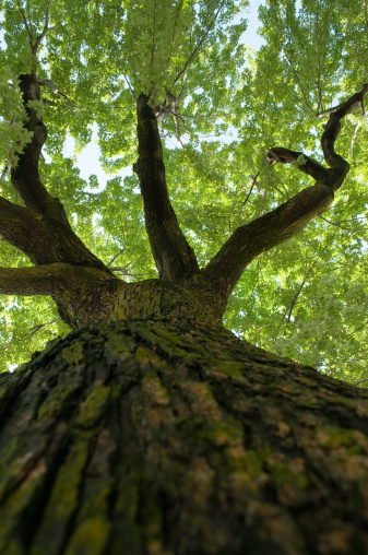 Durability「Looking up an old maple tree towards the leaves」:スマホ壁紙(2)