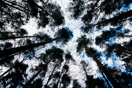 Low Angle View「Looking up conifer trees in forest」:スマホ壁紙(13)