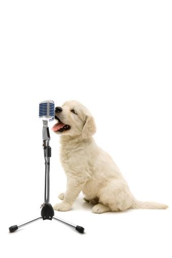 French Bulldog「young singer」:スマホ壁紙(16)