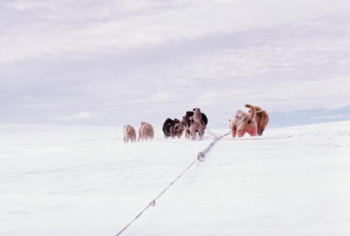 Sled「Dogs pulling sled across snowy landscape」:スマホ壁紙(19)
