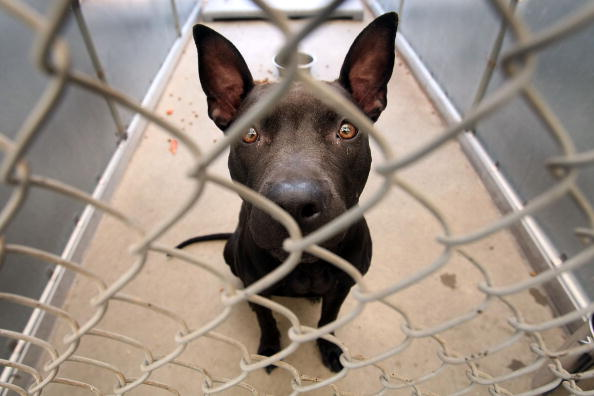 Cage「Rescued Pit Bulls Increasingly Populate Animal Shelters」:写真・画像(6)[壁紙.com]