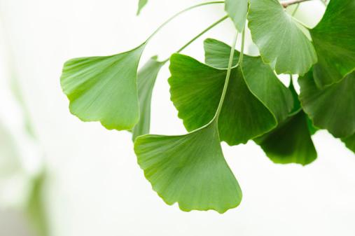 イチョウ「イチョウの葉」:スマホ壁紙(13)