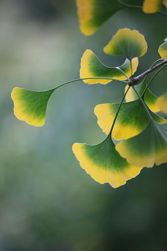 Frond「Gingko leaves at the tree」:スマホ壁紙(1)
