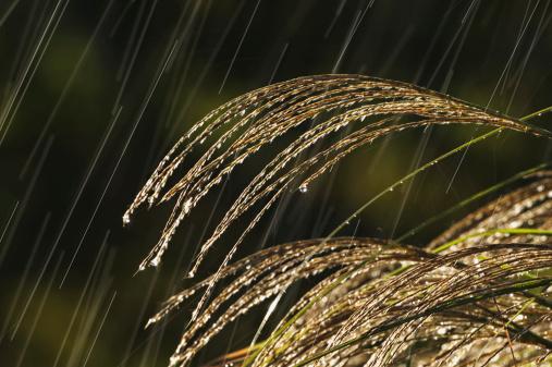 すすき「Rain falling on Japanese silver grass (Miscanthus sinensis)」:スマホ壁紙(4)