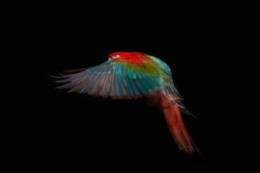 Bird「A Green Winged Macaw in mid flight.」:スマホ壁紙(4)