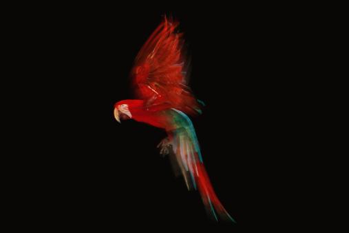 Parrot「Green Winged Macaw parrot in flight」:スマホ壁紙(13)