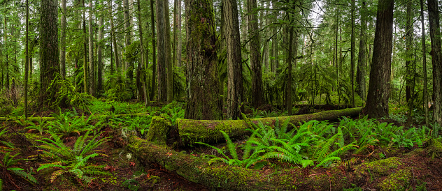 Fallen Tree「The Lush Rainforest Of Cathedral Grove, Macmillan Provincial Park, Vancouver Island」:スマホ壁紙(3)