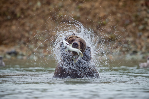 Animals Hunting「Coastal Brown Bear, Katmai National Park, Alaska」:スマホ壁紙(3)