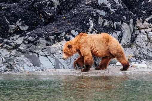 Glacier Bay National Park「Coastal brown bear (Ursus arctos)」:スマホ壁紙(8)