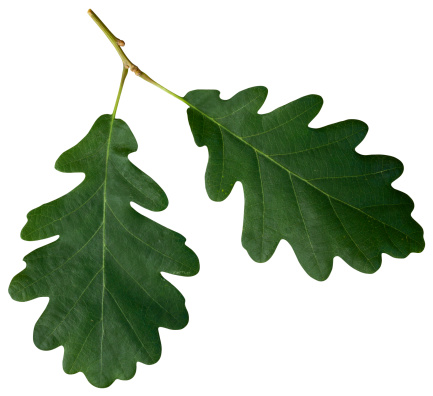 Oak Leaf「Oak leaf isolated on white with clipping path」:スマホ壁紙(3)