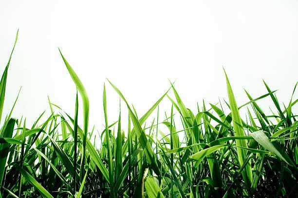 green grass isolated:スマホ壁紙(壁紙.com)