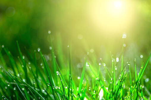 Wheatgrass「Green Grass morning dew」:スマホ壁紙(17)
