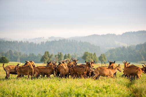 Walking「Group of goats on grassy landscape」:スマホ壁紙(10)