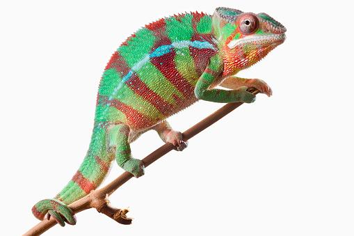 Chameleon「Colourful Panther Chameleon (Furcifer pardalis) on a white background」:スマホ壁紙(19)
