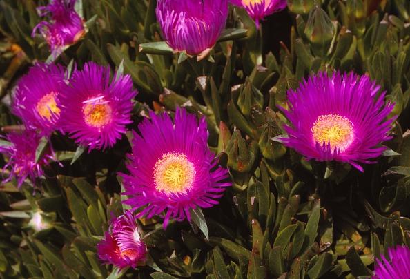 Rose - Flower「Mesembryanthemum」:写真・画像(2)[壁紙.com]