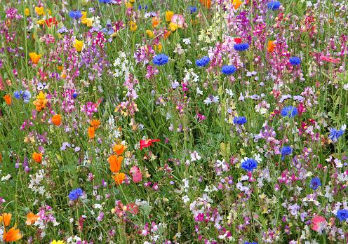 Allergy「Multicolored wildflowers blooming in meadow」:スマホ壁紙(8)